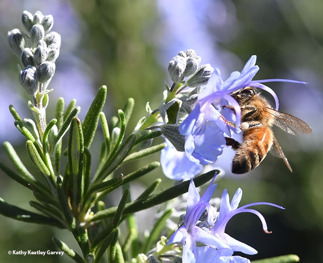 A honey bee, Apis mellifera, foraging on rosemary at the Benicia Capitol State Historic Park on Feb. 23, 2021. (Photo by Kathy Keatley Garvey)