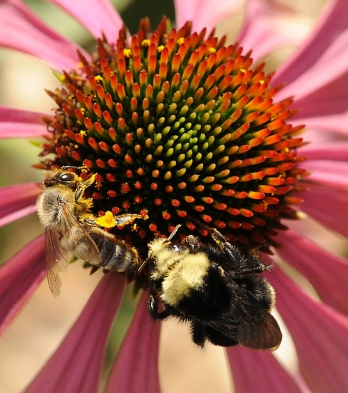 A honey bee and yellow-faced bumble bee, Bombus vosnesenskii, sharing a purple coneflower in  the UC Davis Department of Entomology and Nematology's Honey Bee Haven. (Photo by Kathy Keatley Garvey)