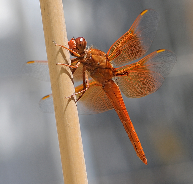Flame skimmer (Libellula saturata) rests on a tomato stake after hunting prey over a fish pond. (Photo by Kathy Keatley Garvey)
