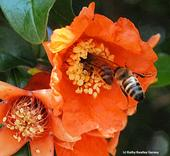 Two honey bees competing for pollen on a pomegranate blossom. (Photo by Kathy Keatley Garvey)