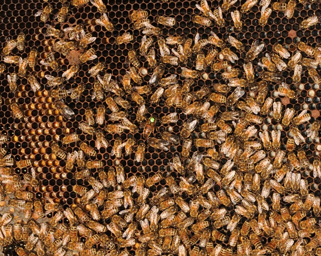 Inside the hive--every bee has a job to do. (Photo by Kathy Keatley Garvey)