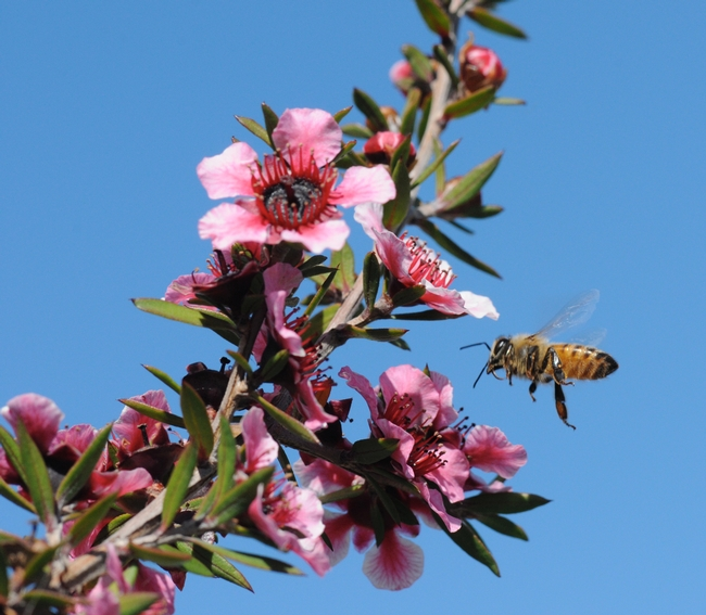 Outside the hive--worker bee heading toward a New Zealand tea tree, Leptospermum scoparium keatleyi. (Photo by Kathy Keatley Garvey)