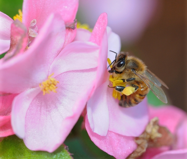 Outside the hive--a honey bee foraging on a begonia. (Photo by Kathy Keatley Garvey)