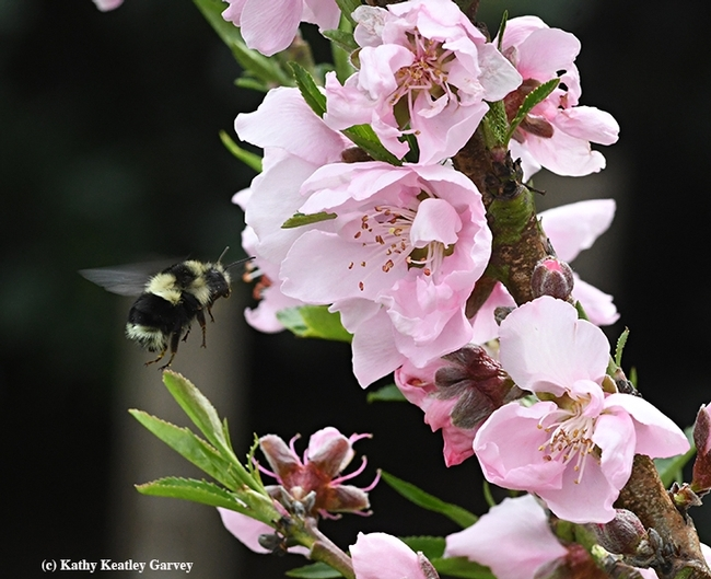 A black-tailed bumble bee, Bombus melanopygus, heading for the Garvey nectarine tree on March 18, 2018 in Vacaville, Calif. (Photo by Kathy Keatley Garvey)