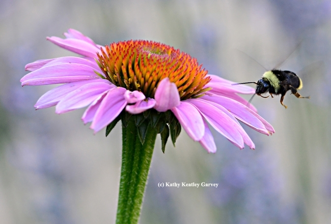 Bombus californicus heads for a purple coneflower in Vacaville, Calif. (Photo by Kathy Keatley Garvey)