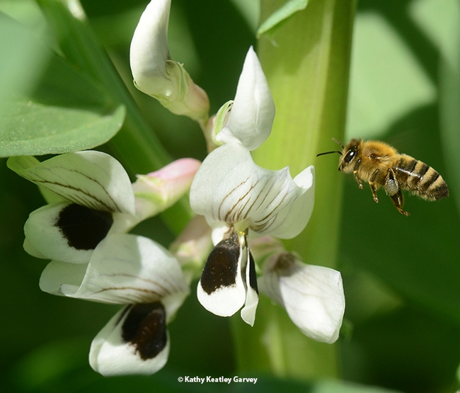 A honey bee heads for fava bean blossoms. Note the silver-gray pollen. (Photo by Kathy Keatley Garvey)