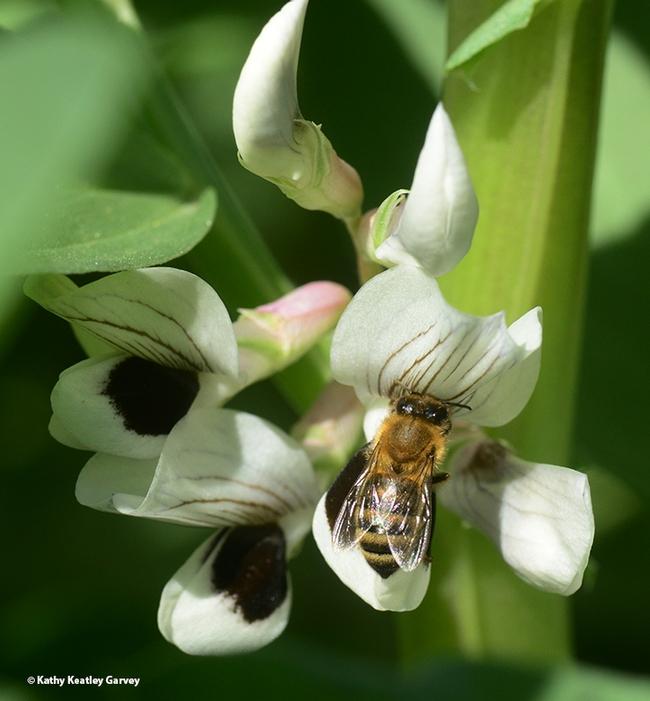 Success! A honey bee foraging on a fava bean blossom. (Photo by Kathy Keatley Garvey)