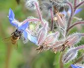 Honey bee foraging on borage. (Photo by Kathy Keatley Garvey)