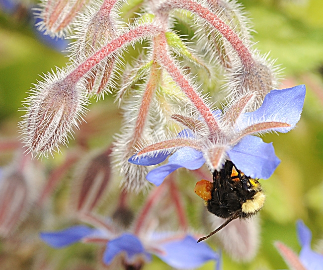Yellow-face bumble bee (Bombus vosnesenskii) takes a liking to borage. (Photo by Kathy Keatley Garvey)