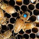 Queen bee, at the peak of her season, can lay about 2000 eggs a day. (Photo by Kathy Keatley Garvey)