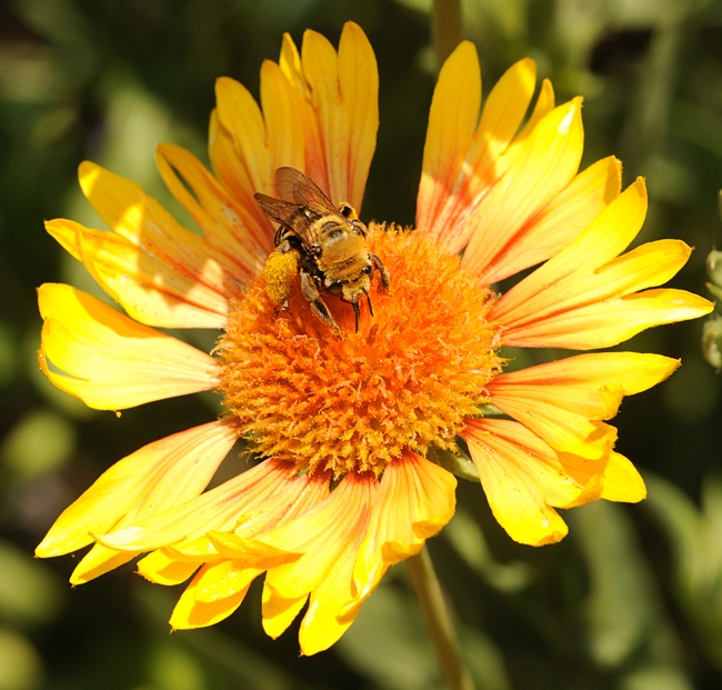 Sunflower bee, Svastra obliqua expurgata, on Gaillardia. (Photo by Kathy Keatley Garvey)