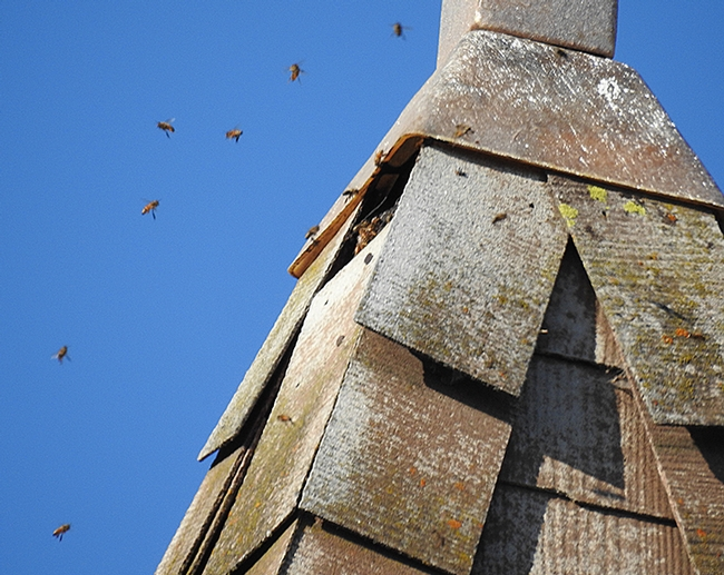 The bees may have swarmed from what appears to be a permanent colony in the bell tower of the Epipany Episcopal Church. (Photo by Kathy Keatley Garvey)