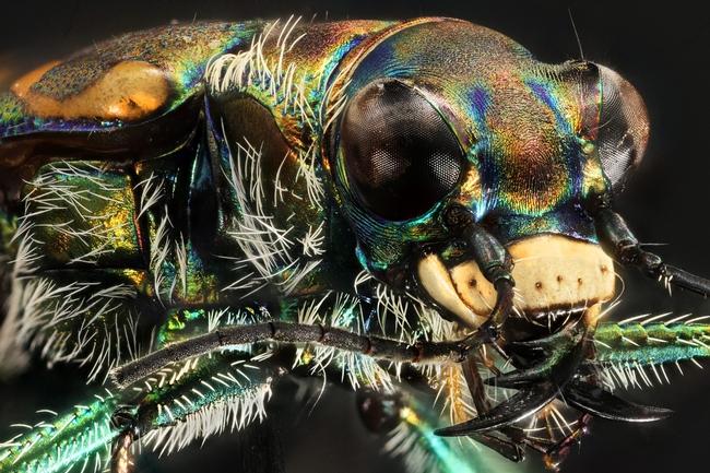 Yellowstone white tiger beetle. (Image courtesy of Yellowstone National Park, public domain, via Wikimedia Commons)