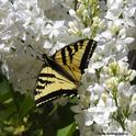 A Western tiger swallowtail, missing part of its tails, nectars March 30 on a lilac bush at a Vacaville park. (Photo by Kathy Keatley Garvey)