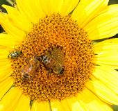 Spotted cucumber beetle sharing a sunflower with two honey bees. (Photo by Kathy Keatley Garvey)