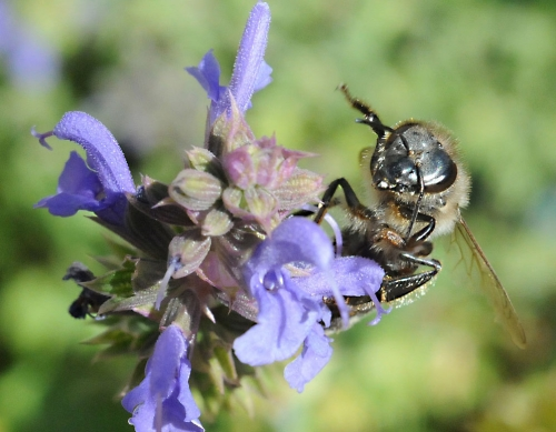 Honey bee on sage