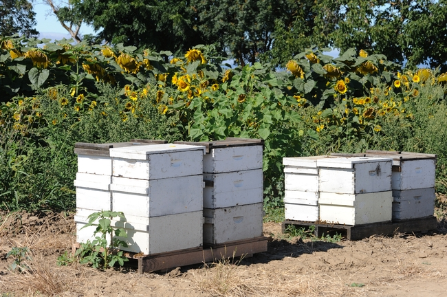 Bucolic scene--bee hives straddling a sunflower field. (Photo by Kathy Keatley Garvey)