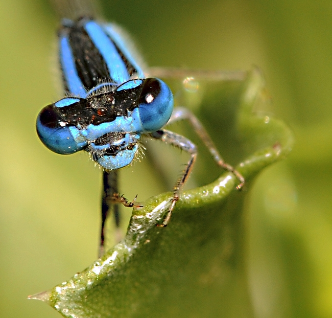 Damselfly's compound eyes don't miss much. (Photo by Kathy Keatley Garvey)