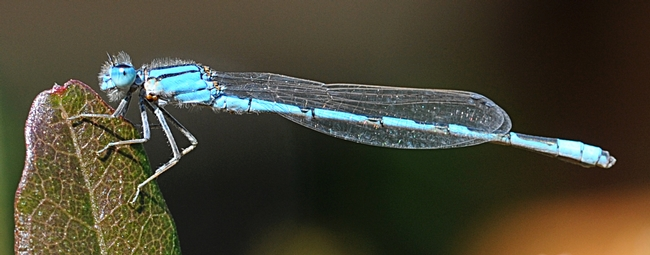 Slender as a needle, a damselfly warms itself,  preparing for flight.  (Photo by Kathy Keatley Garvey)