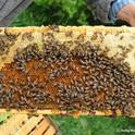 A frame of healthy bees. (Photo by Kathy Keatley Garvey)