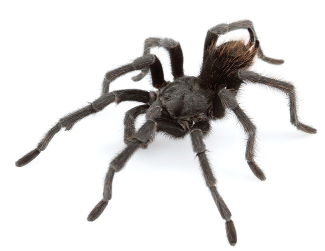"This tarantula is a male Aphonopelma johnnycashi. (Wikipedia image: credit,Chris A. Hamilton, Brent E. Hendrixson, Jason E. Bond - ""Taxonomic revision of the tarantula genus Aphonopelma Pocock, 1901 (Araneae, Mygalomorphae, Theraphosidae) within the United States"", in ZooKeys, volume 560, 2016."