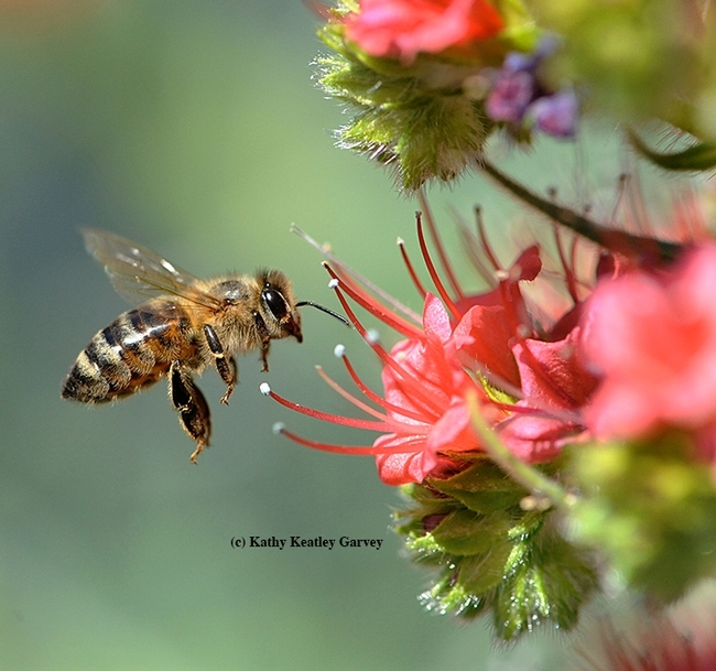 A honey bee heading toward the tower of jewels, Echium wildpretii. Without the bee, there would be no honey or mead. (Photo by Kathy Keatley Garvey)