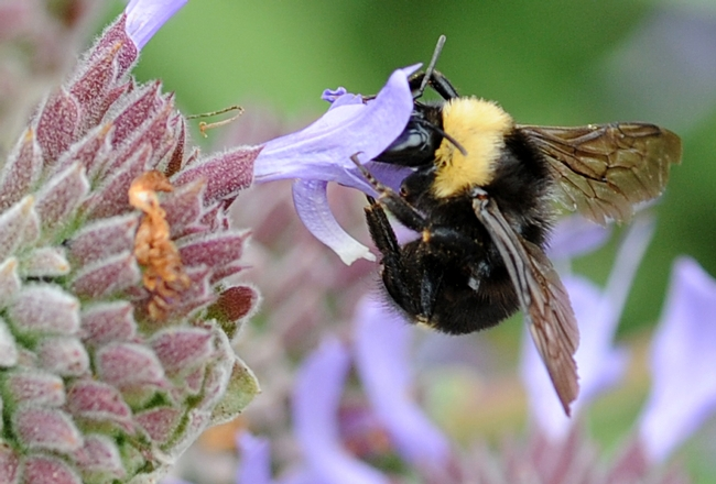 Close-up of black-faced bumble bee nectaring on grey musk sage. (Photo by Kathy Keatley Garvey)