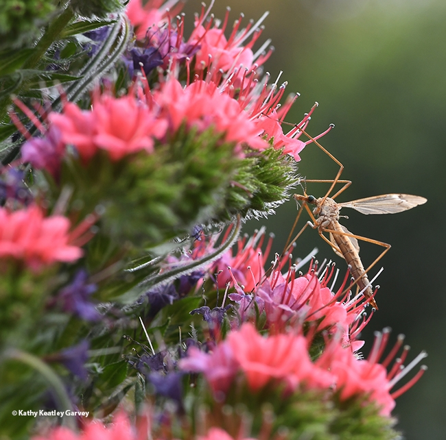 A common crane fly, Tipula oleracea, on a tower of jewels, Echium wildpretii. (Photo by Kathy Keatley Garvey)