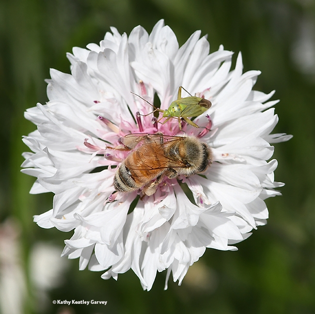 A honey bee and a lygus bug sharing a batchelor button in the UC Davis Ecological Garden. (Photo by Kathy Keatley Garvey)