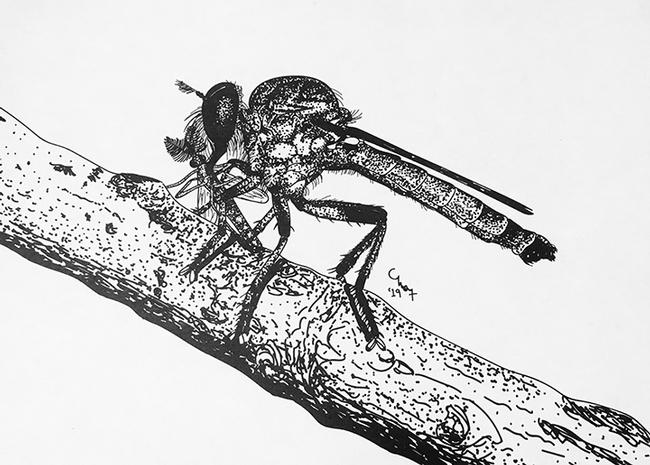 A robber fly, also known as an assassin fly, drawn by UC Davis doctoral candidate Charlotte Herbert Alberts.