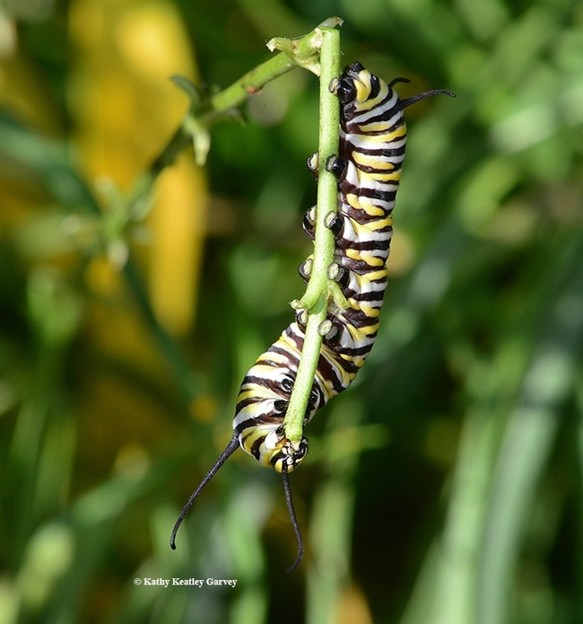A monarch caterpillar chewing on a stem of narrowleaf milkweed, Asclepias fascicularis, in a Vacaville pollinator garden. (Photo by Kathy Keatley Garvey)