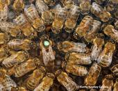A queen bee (No. 58) and her retinue. This image is from Susan Cobey's colony.(Photo by Kathy Keatley Garvey)