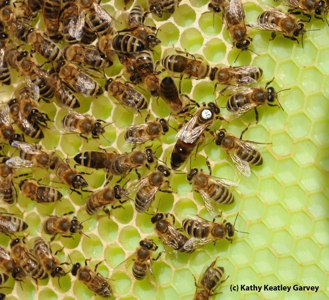 The queen bee is much larger than the worker bees. (Photo by Kathy Keatley Garvey)
