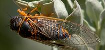 Photographer Allan Jones found this cicada in the Ruth Risdon Storer Garden of the UC Davis Arboretum and Public Garden several years ago. It appears to be a Okanagana arboraria, according to Louie Yang of the UC Davis Department of Entomology and Nematology faculty. (Photo by Allan Jones) for Bug Squad Blog