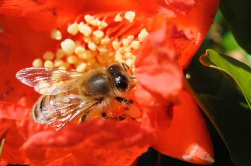 A honey bee pollinates a pomegranate blossom on May 26, 2008. (Photo by Kathy Keatley Garvey)