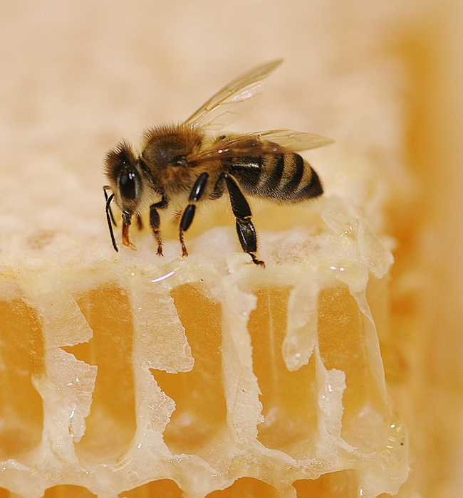 Honey bee on honey. (Photo by Kathy Keatley Garvey)