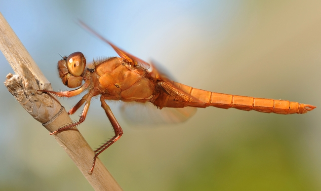 Flame skimmer is long and lean with huge compound eyes. (Photo by Kathy Keatley Garvey)