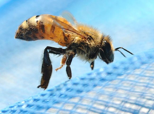 Drenched bee fished out of a swimming pool. (Photo by Kathy Keatley Garvey)