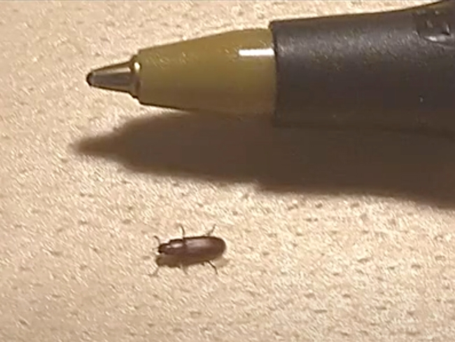 The red flour beetle is about 1/8th-inch long. (Bohart Museum of Entomology)