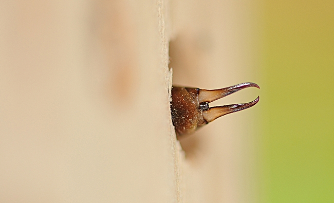 Earwig inside a blue orchard bee condo, which has larger holes than one for leafcutting bees. (Photo by Kathy Keatley Garvey)