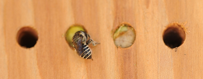 Leafcutting bee provisioning her nest. (Photo by Kathy Keatley Garvey)