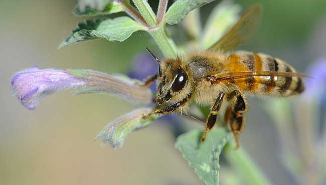 Honey bee working the catmint (Nepeta). (Photo by Kathy Keatley Garvey)