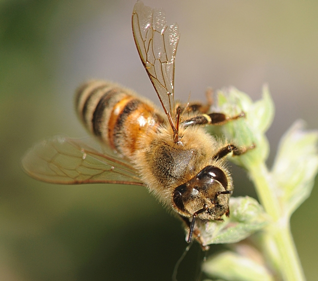Close-up of a honey bee on catmint. (Photo by Kathy Keatley Garvey)