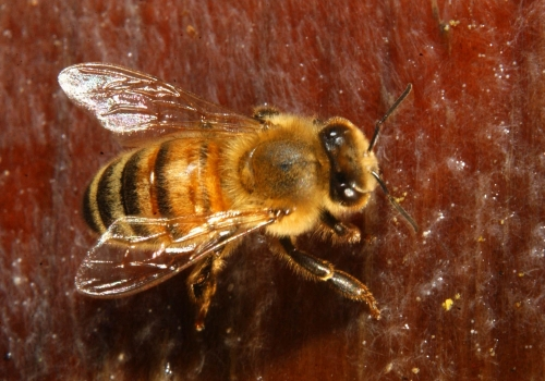 The honey bee, resplendent here with silvery wings, is gold to the global economy. (Photo by Kathy Keatley Garvey)
