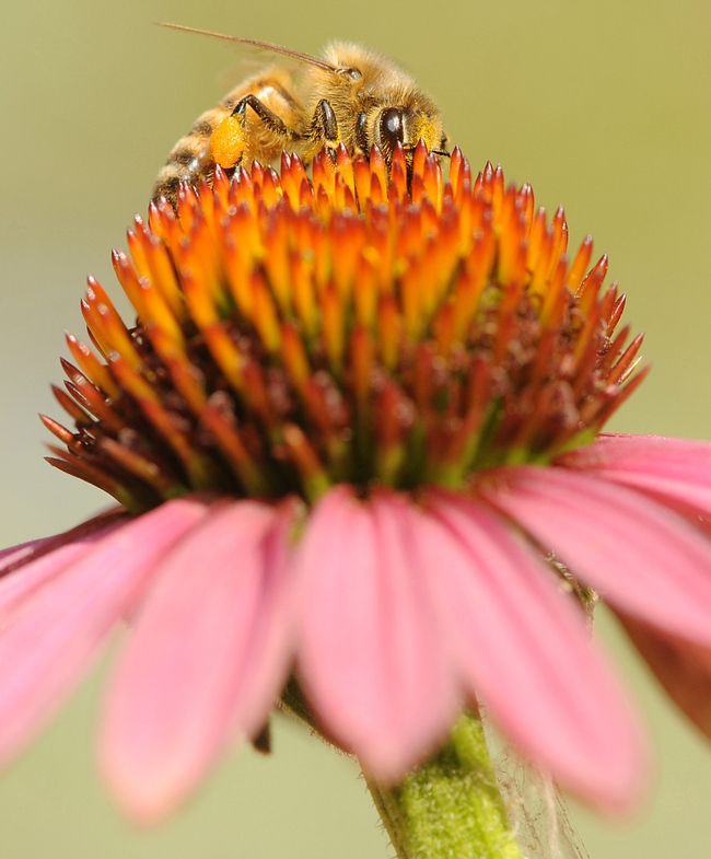 Peek-a-bee: A honey bee peers through the head of a purple coneflower. (Photo by Kathy Keatley Garvey)