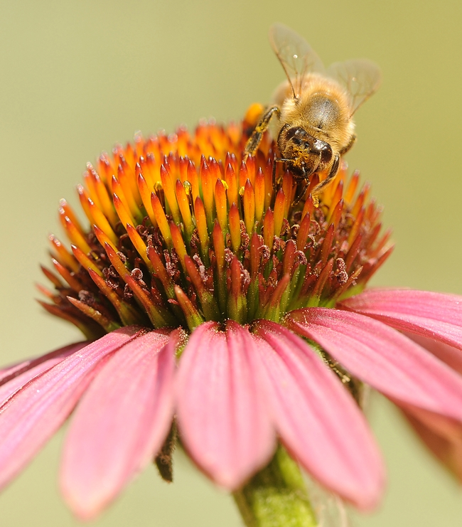 Pollen-laden honey bee climbs over the head of a purple coneflower. (Photo by Kathy Keatley Garvey)