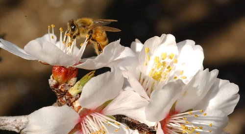 Bee on almond blossom