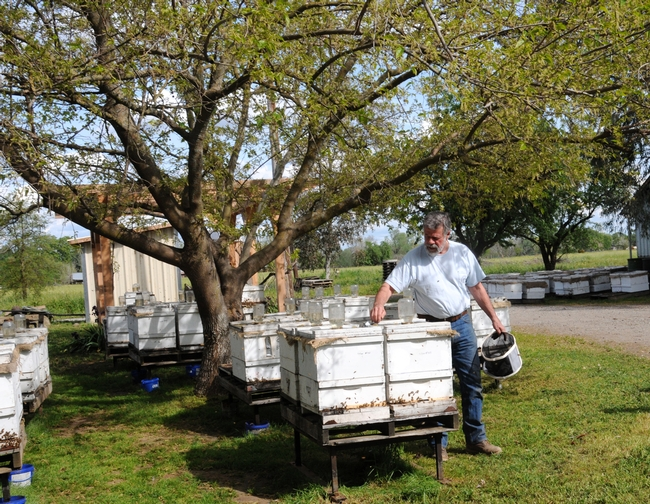 Pat Heitkam of Orland, who operates a queen bee-rearing business, tends his hives.  He is mentioned in
