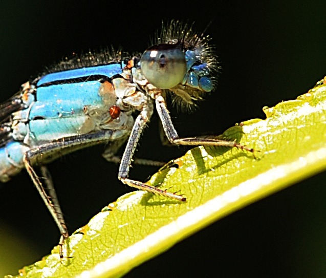 Blue damselfy resting on nectarine leaf. (Photo by Kathy Keatley Garvey)