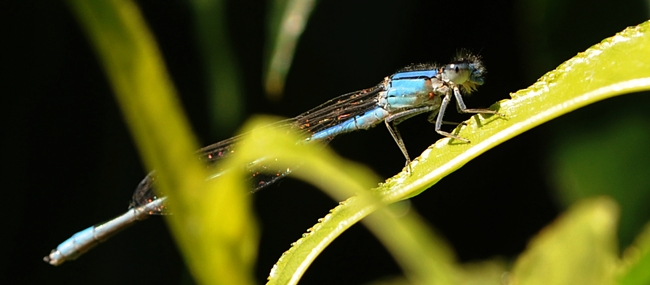 Wide view of a blue damselfly perched on a nectarine leaf. (Photo by Kathy Keatley Garvey)